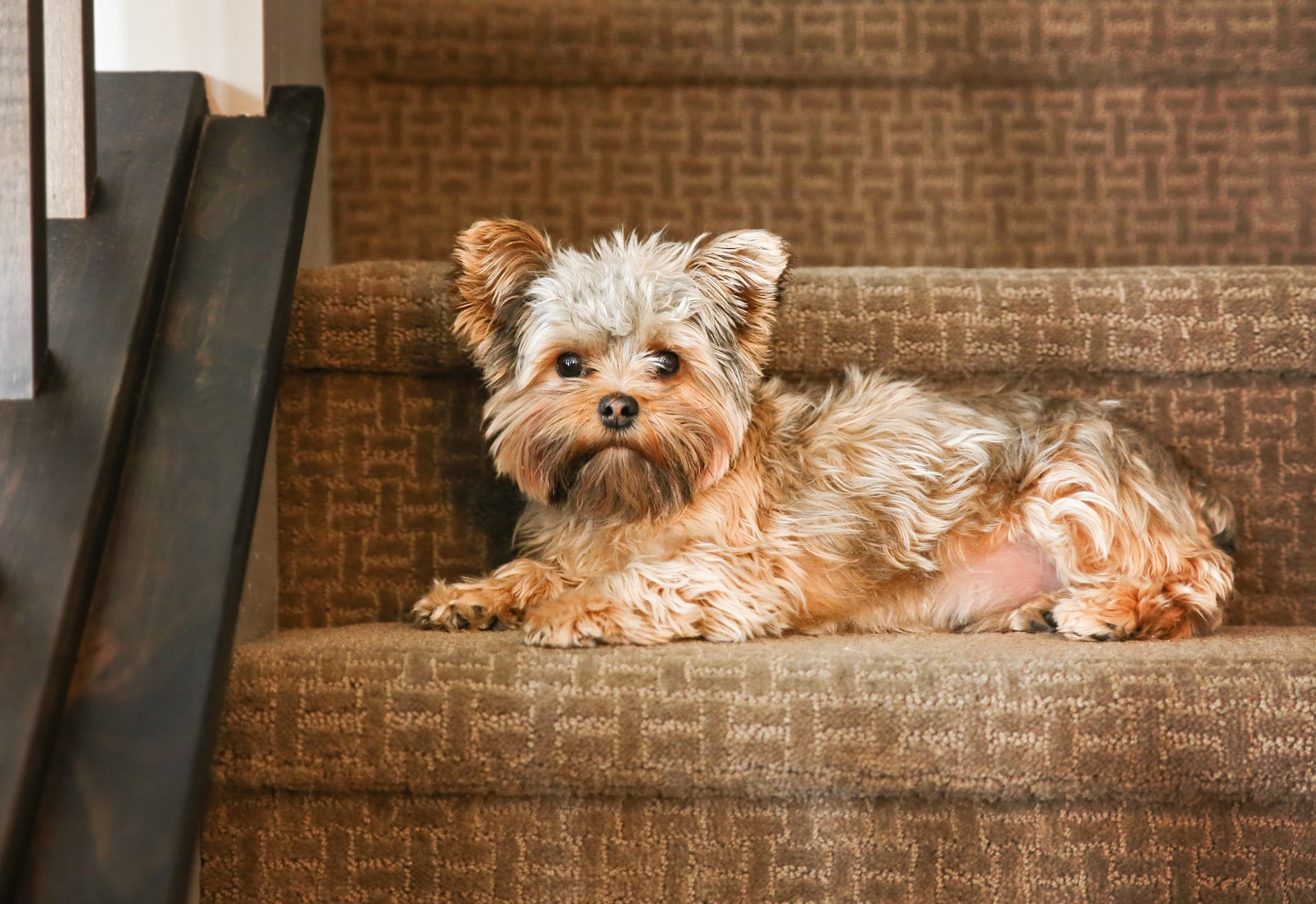 Cute yorkshire terrier on stairs looking at the camera