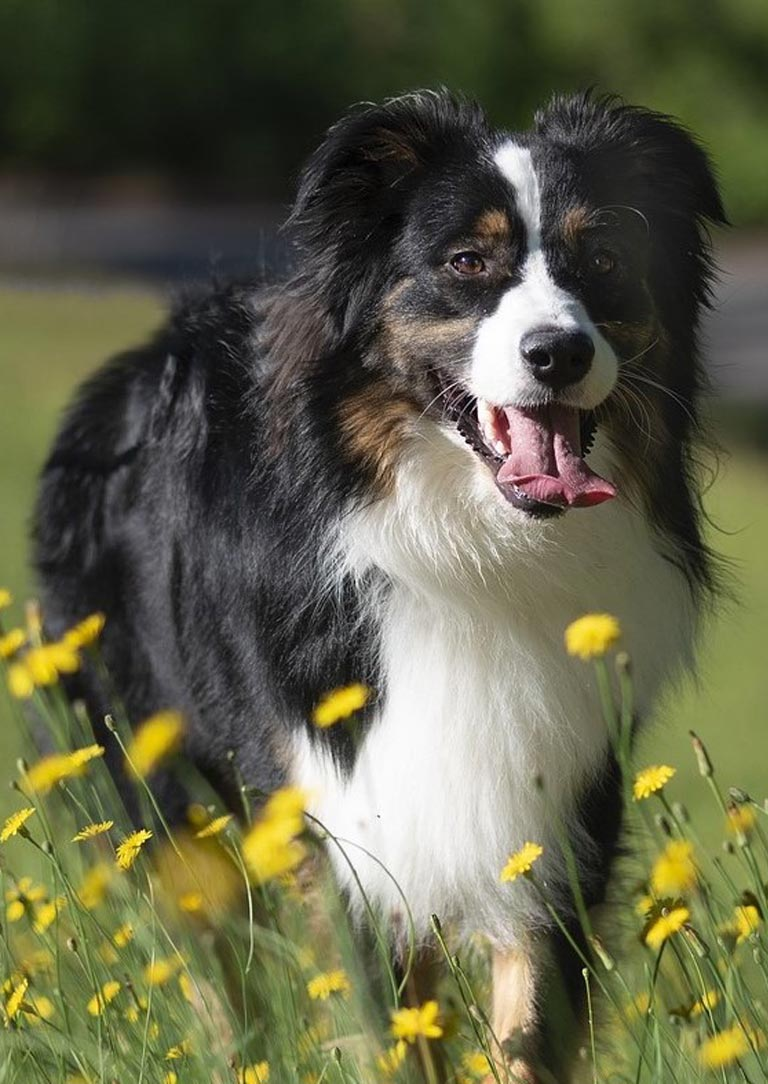 Australian Shepherd is 4th trending Dog Breed in Australia
