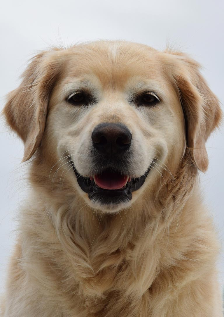 Golden Retriever is 2nd trending dog breed in Australia