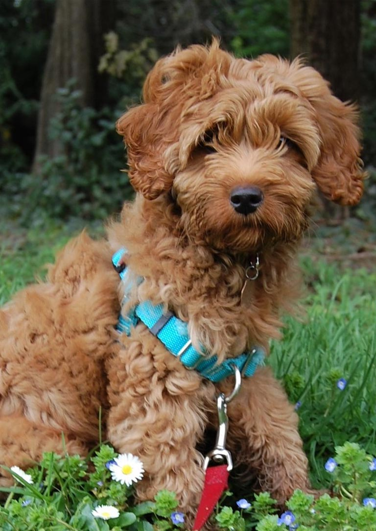 Labradoodle is the 10th trending dog breed in Australia