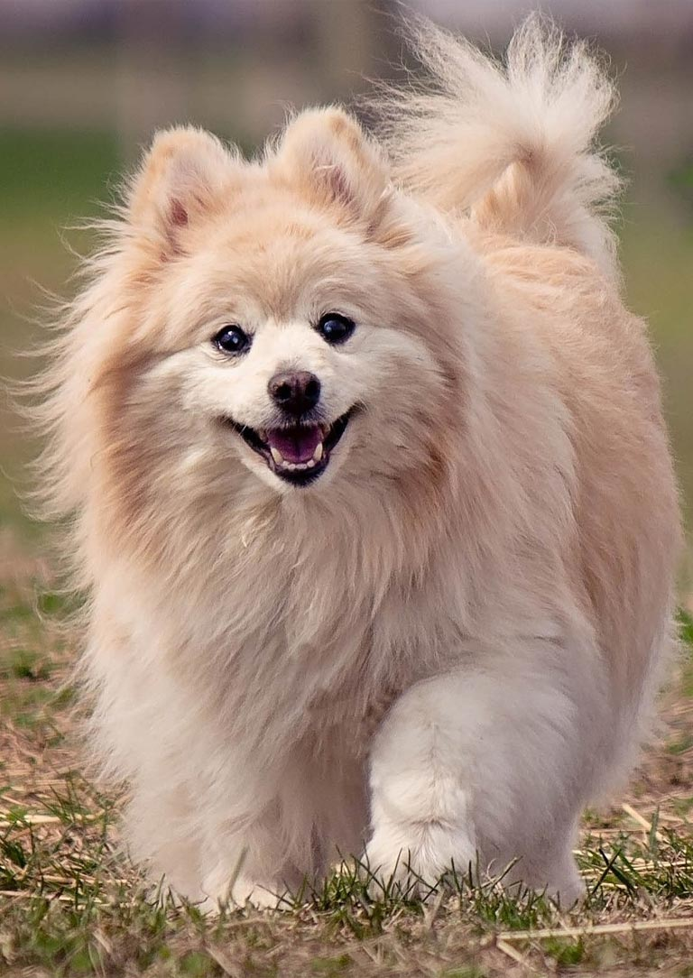 Pomeranian is the 7th trending dog breed in Australia