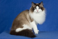 The Ragamuffin Cat Breed