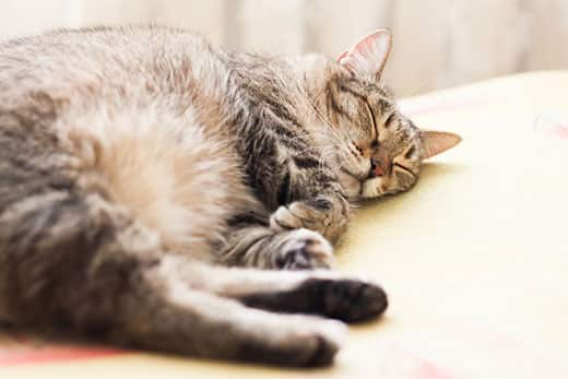 Striped gray cat sleeping.