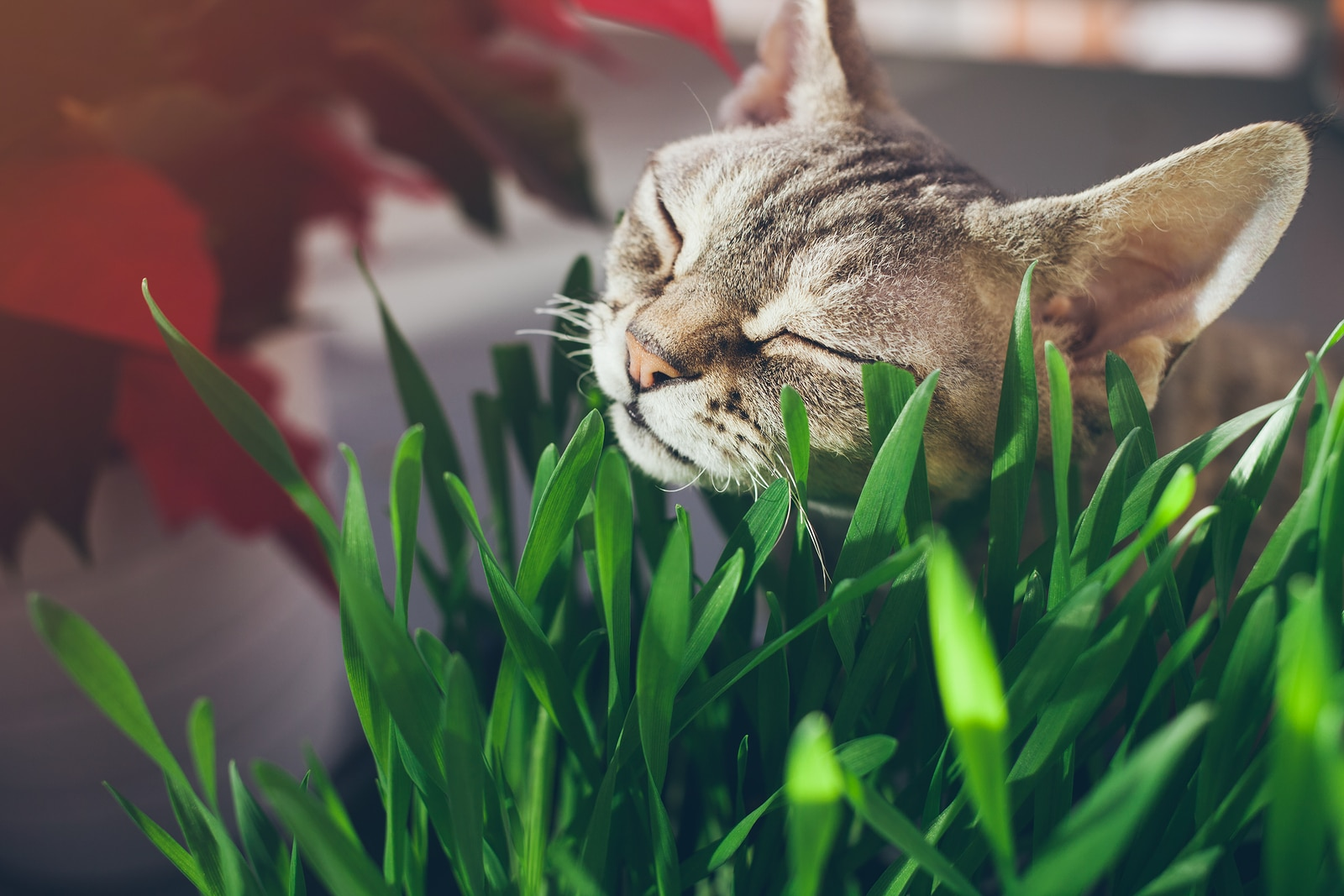 Tabby cat nuzzling some blades of grass