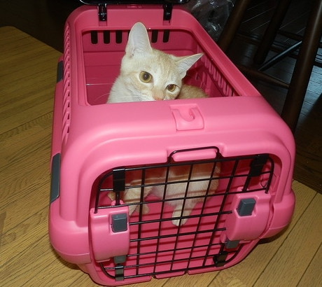 cream colored cat sticking her head out of pink cat carrier