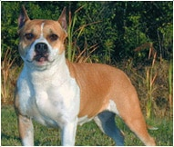 The American Staffordshire Terrier Dog Breed