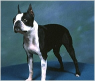 The Boston Terrier Dog Breed
