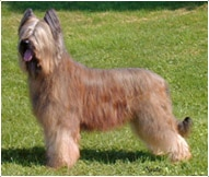 The Briard Dog Breed