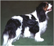 The Cavalier King Charles Spaniel Dog Breed