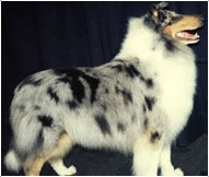 The Collie or Scottish Collie Dog Breed
