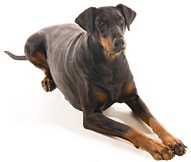 The Doberman Dog Breed