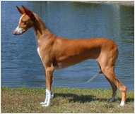 The Ibizan Hound Dog Breed