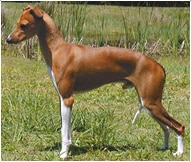 The Italian Greyhound Dog Breed