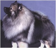 The Keeshond Dog Breed