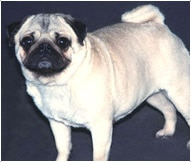 The Pug Dog Breed