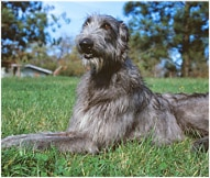 The Scottish Deerhound Dog Breed