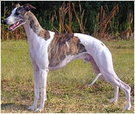 The Whippet Dog Breed