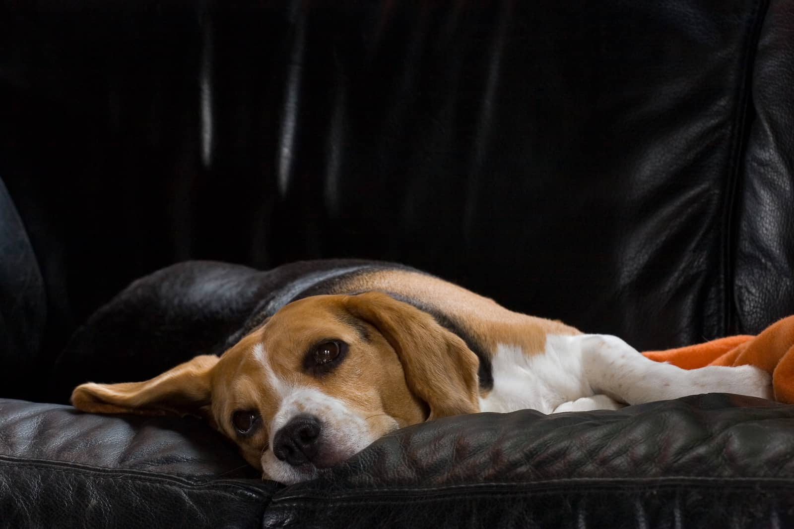 Female beagle resting on a black leather sofa.