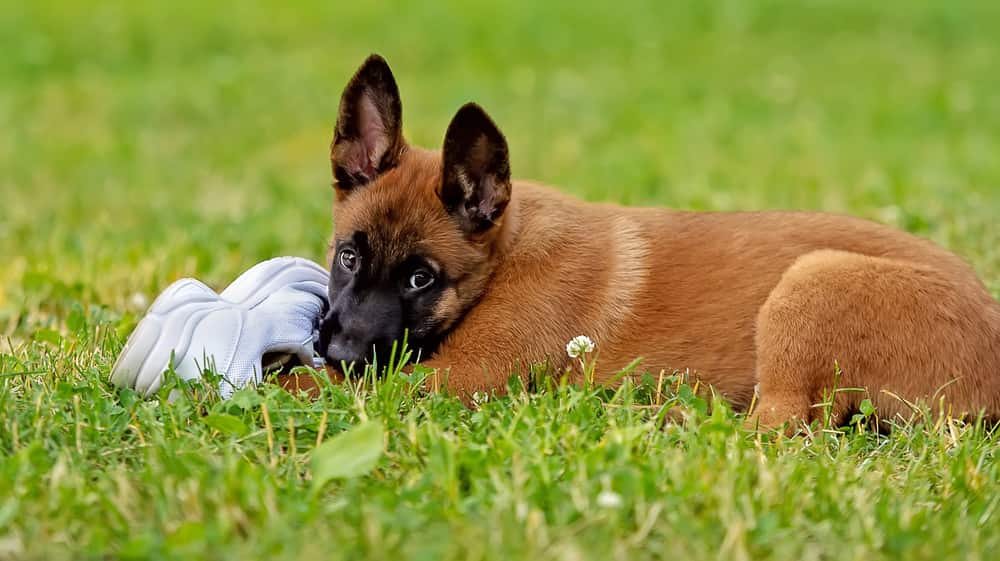 Brown puppy, black face, chews on white shoe in the grass.