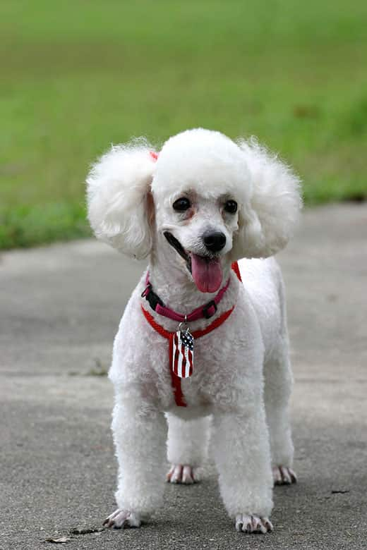 White poodle with red harness with tongue out.