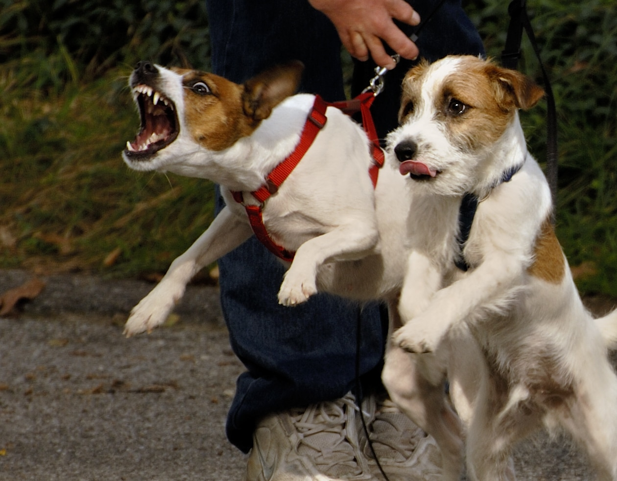Jack Russell Terrier on a harness baring teeth next to another dog, while owner holds both back.