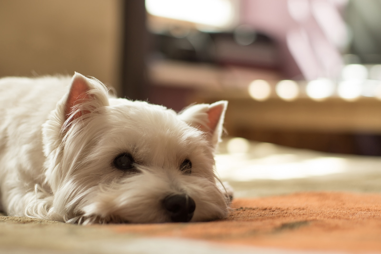 West highland white terrier lying on ground.