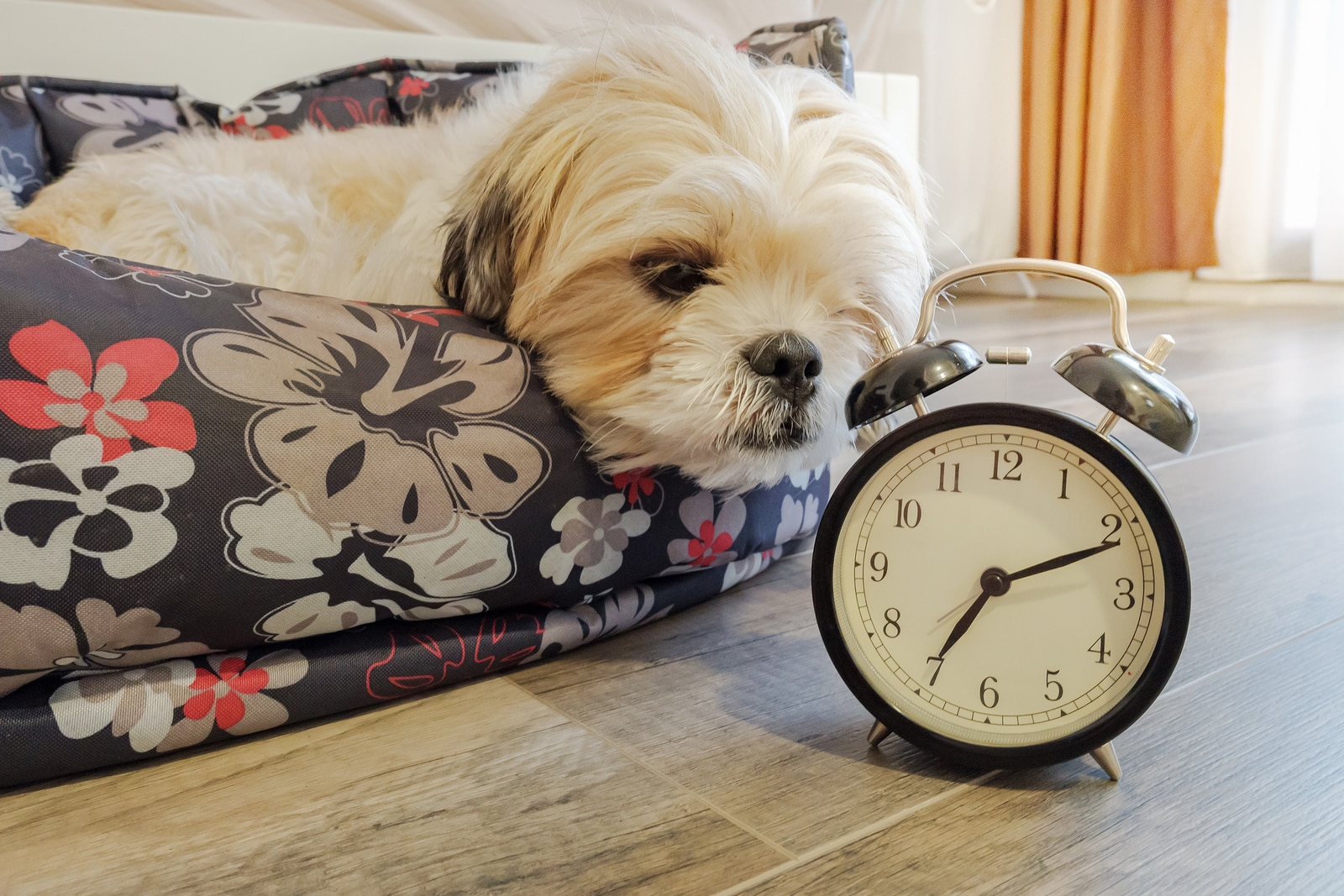 Dog lying in bed sniffs at an old-school alarm clock