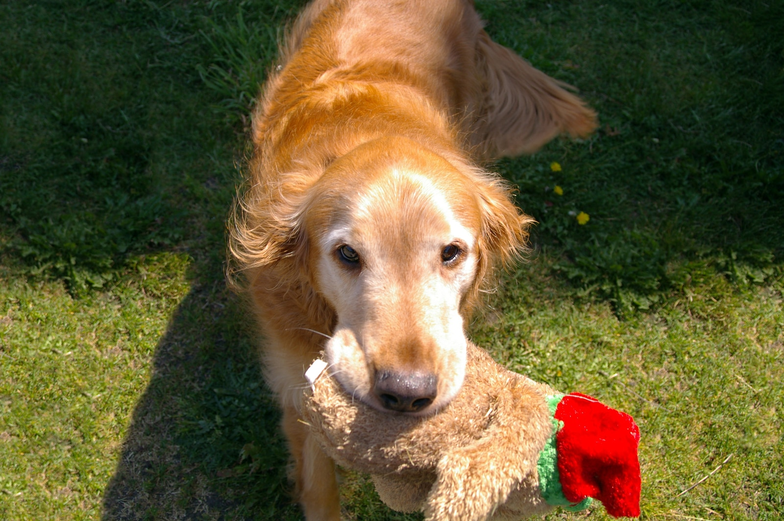 Older golden retriever with a stuffed animal in its mouth outside.