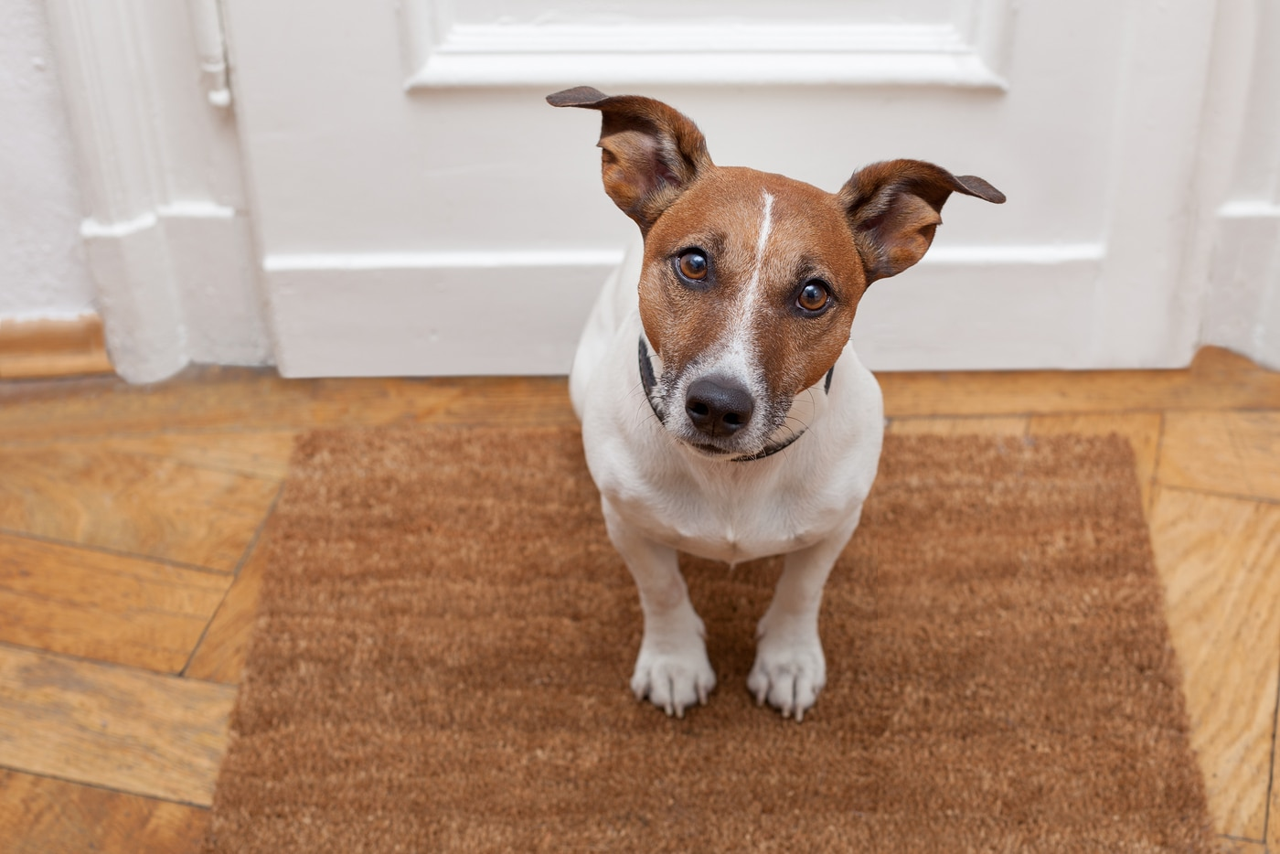 Jack Russell Terrier sitting on welcome mat at the door looking up.